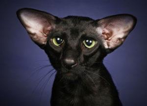 породы кошек