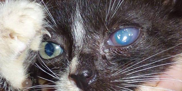 Как лечить глаза у кошки в домашних