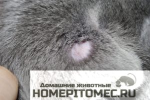 симптомы_стригущего_лишая_у_кошек