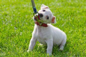 как-приучить-щенка-к-поводку