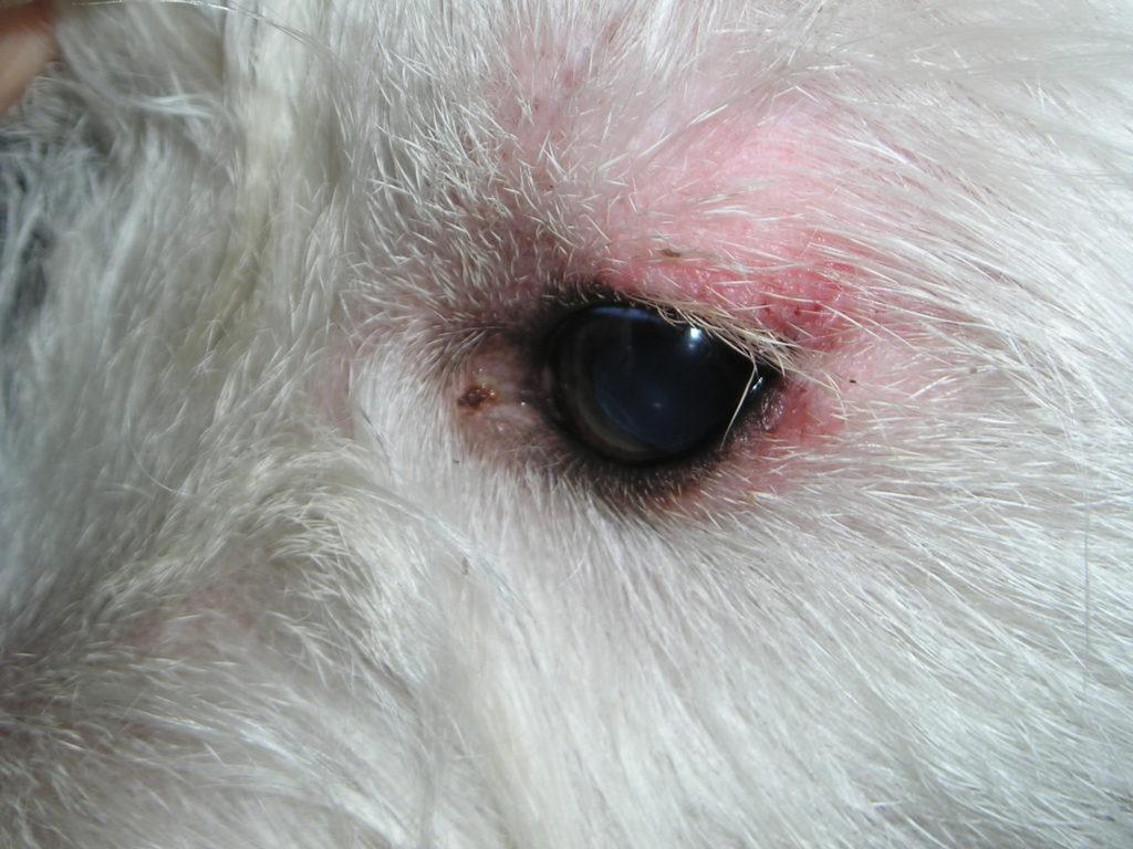 Экзема у собак: причины, симптомы, лечение