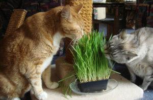 какую траву едят кошки