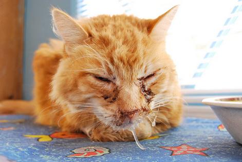 Хламидиоз у кошек