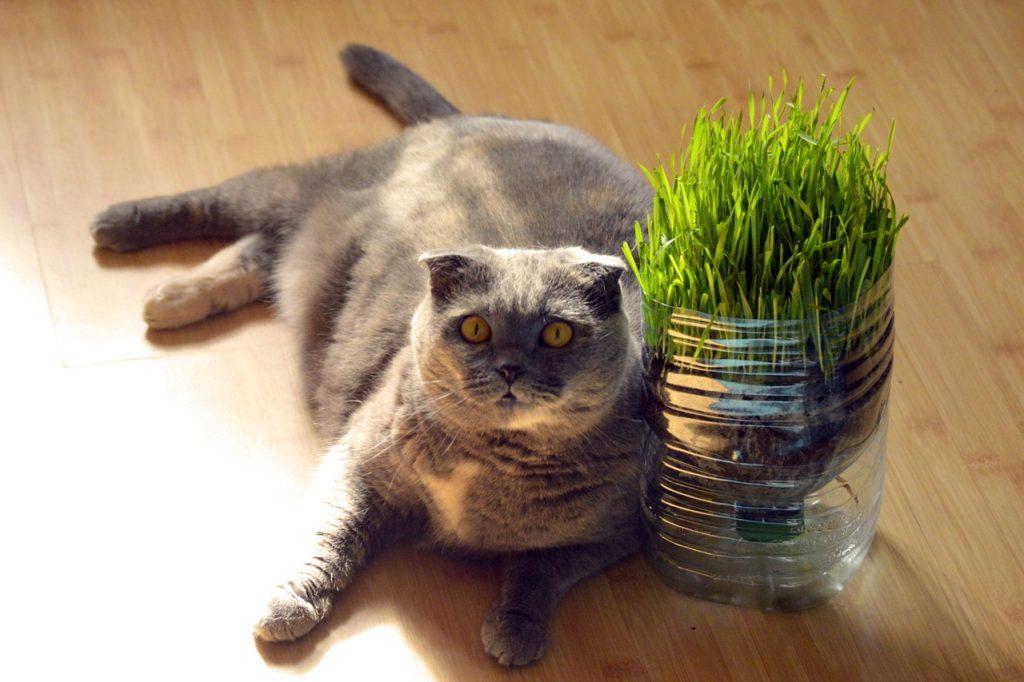 Характер шотландской вислоухой кошки характер породы