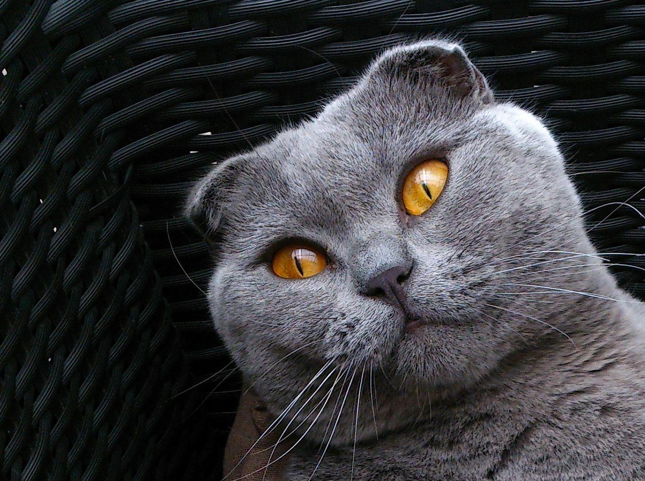 шотландская вислоухая кошка характер породы