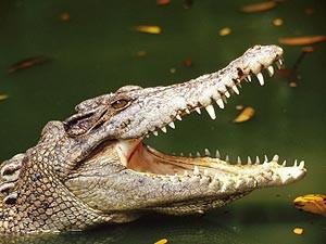 fakt-o-alligator