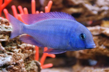 ryba-akvarium
