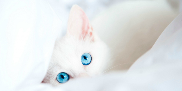 Белая кошка с голубыми глазами описание породы характера особенностей ухода