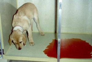 Парвовирусный-энтерит-у-собак