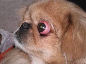 У каких собак выпадают глаза|собака у которой выпадают глаза