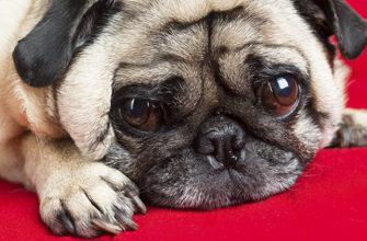 У каких собак выпадают глаза