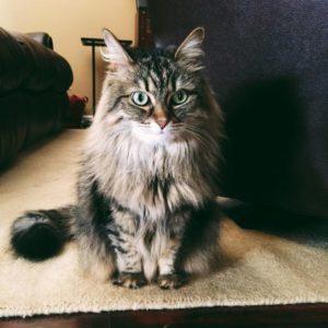 Сибирская кошка описание породы и характера