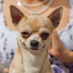 самая маленькая собака в мире Чихуахуа