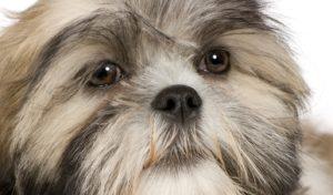 выпадают глаза |собака у которой выпадают глаза