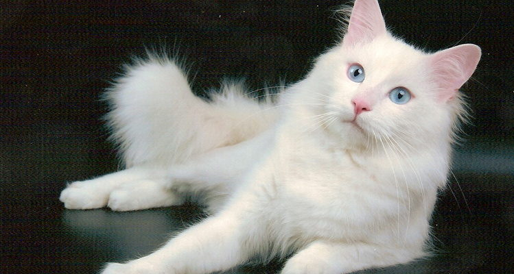 Турецкая ангора   Ангорская кошка