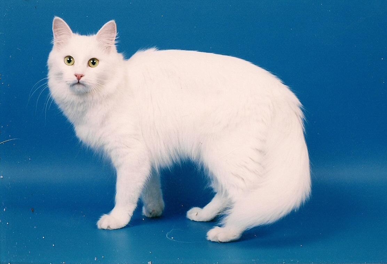 Турецкая ангора | Ангорская кошка
