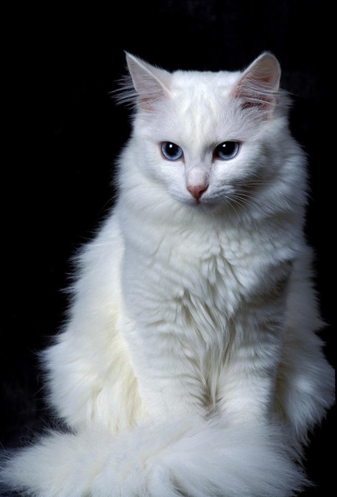 ангорские кошки картинки
