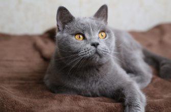 имена и клички для серых кошек